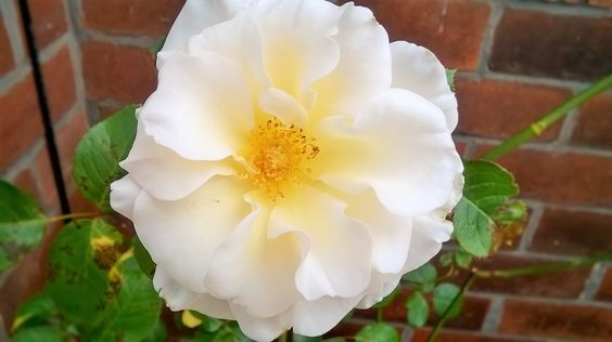 Fragrant abundance rose A look inside the Sewing with Love garden :) #garden #greenery #flowers #beautiful #lush #gardening #relaxing #loveyourgarden #roses
