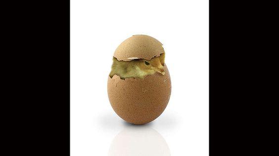 Befindet sich in unserem Frühstücksei ein nicht-ausgebrütetes Küken?-Nein. Nur, wenn die Eizelle durch einen Hahn befruchtet wurde, kann daraus ein Tier wachsen. Unabhängig davon findet immer derselbe Vorgang im Legeapparat des Huhns statt: Fast alle 24 Stunden kommt es zu einem Eisprung. Im Eierstock reifen gelbe Dotterkugeln heran. Die größte löst sich von dem Eierstock und wandert dann durch den Eileiter. Hier entwickeln sich mehrere Schichten Eiklar um den Dotter. Nach etwa drei Stunden…
