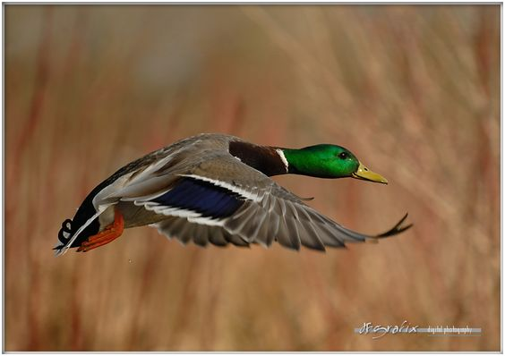 mallard photos - Google Search