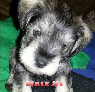 Beautiful salt and pepper  miniature schnauzer puppies  for sale