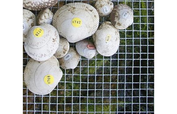 B.C. clams reveal an ancient secret (with video)