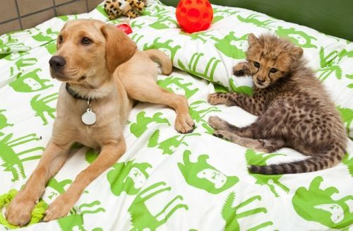 Cheetah and puppy friends