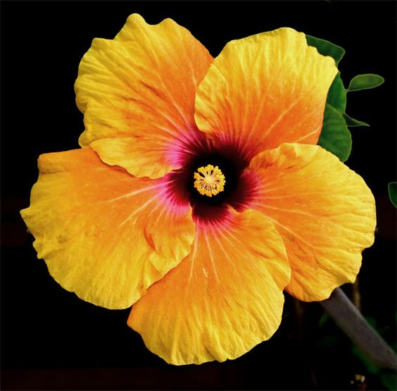 tropical+flowers | Yellow Hibiscus Hibiscus tiliaceus