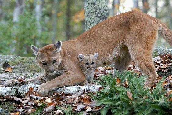 Mom and baby cougar