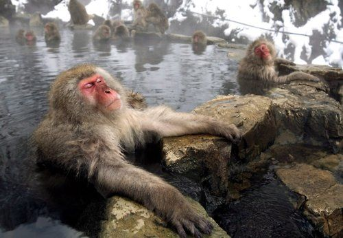 Japan's snow monkeys. You can learn about them here: http://www.bbc.co.uk/programmes/b00hm9j5