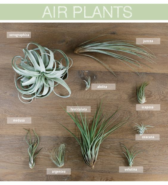 Air Plants: Learn how to care for air plants and get ideas for incorporating them into your home decor.: