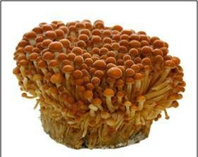 Enoki - the cold loving mushroom. Grows at low temps.