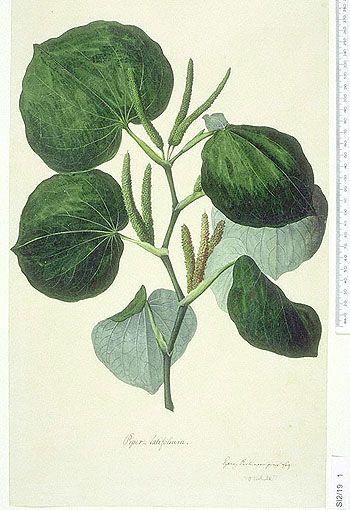 Medicinal Usage of  Kava   Herbs with Medicinal Uses – Kava root   Lauren's Life