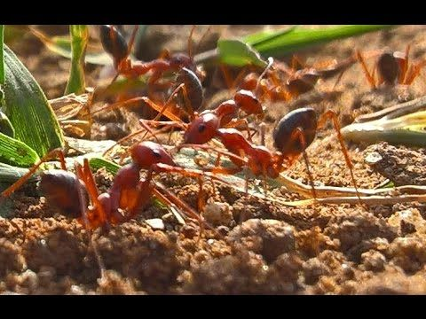 Style De Vie Red Ants Fourmis Rouges النمل الأحمر Rote A Red Ant Ants Red