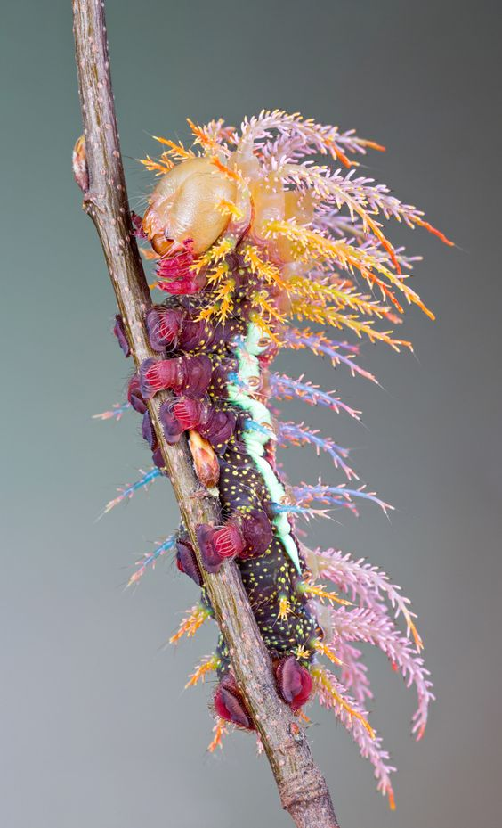Saturniidae Caterpillar.....This is so crazy it looks totally unreal. I think it should be renamed the Hobbycraft caterpillar as it looks like it has rolled in glue & gone wild, rampaging through crafting goodies in Hobbycraft! Amazing! K