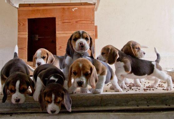 chiots beagle non lof - Annonce gratuite marche.fr