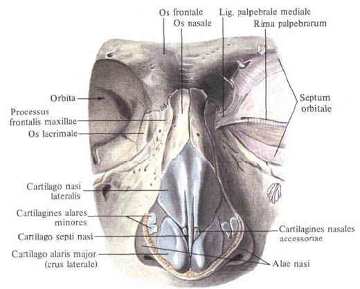 Magnificent Nose Anatomy Diagram Photo Anatomy And Physiology
