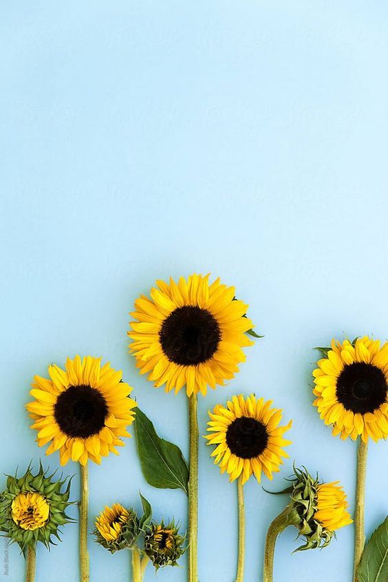 Sunflowers on a blue background by Ruth Black for Stocksy United