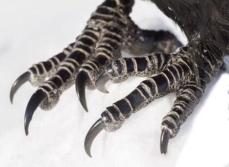 Raven feet / claws. If you have ever doubted that bird are dinosaurs, check these out!