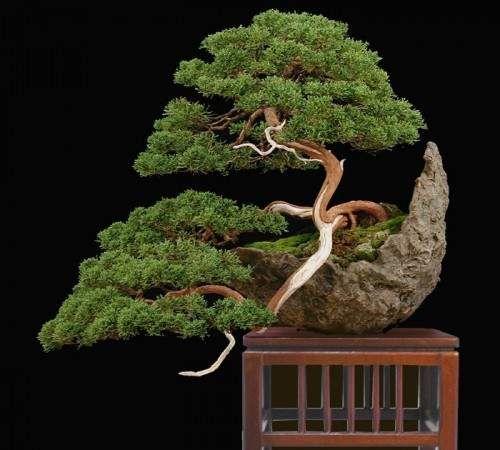 Bonsai tree -Repinned by  http://smddesigns.wix.com/bonsai-tree-mastery