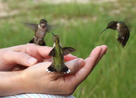 feeding humming birds