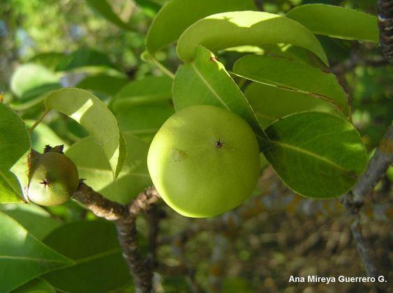 Ecuador: personajes y especies (Galápagos y Continente): Plantas Nativas de…
