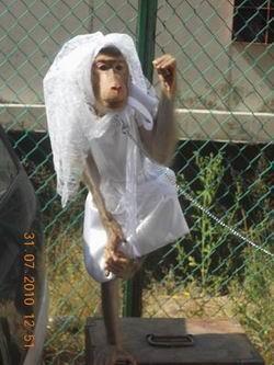 Обезьяна в  свадебном