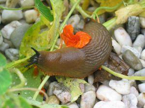 How to control slug population in garden
