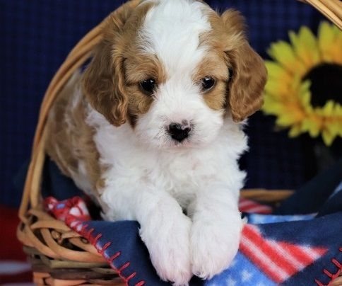 Cavapoo Puppies For Sale Louisville Ky Cavapoo Puppies