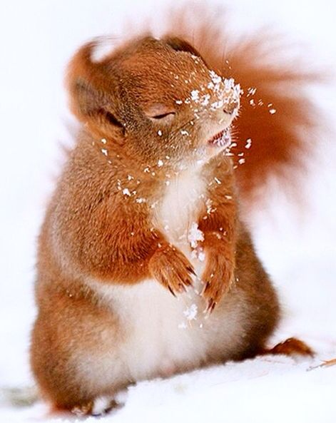 Red Squirrel shaking off the snow