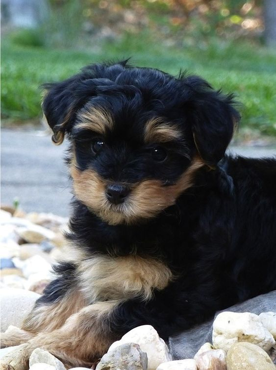 Here S A List Of The Best Yorkipoo Breeders From Around The World Poodle Mix Breeds Yorkie Poo Puppies Cute Animals