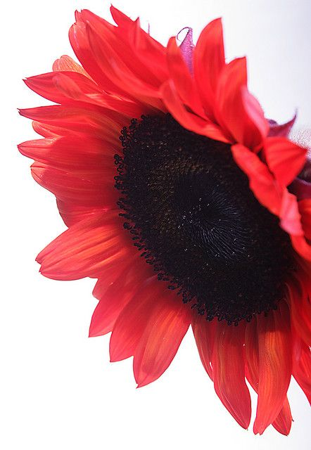 "Red Sunflower- -""learn something new everyday"" I didn't know they existed !"
