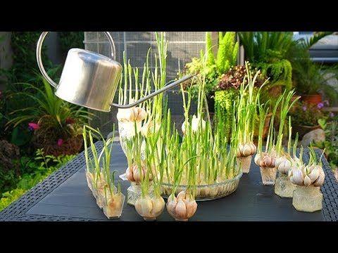 Comment Faire Pousser De L Ail Ile De La Reunion Youtube Jardinage En Pots Planter Ail Jardinage