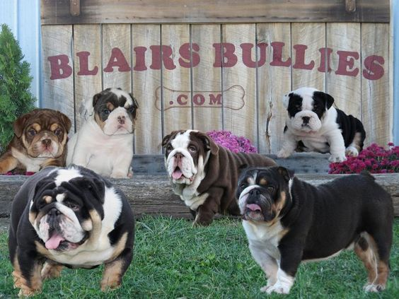 COLOR BULLDOGS, Blue, Black, Chocolate, AKC English Bulldogs, black tri, chocolate tri, bulldog breeder in ohio, english bulldog puppies