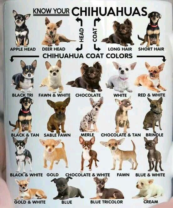 Chihuahua Chart Chihuahua Chihuahua Mom