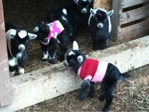 Baby Goats Warm And Radios On Pinterest