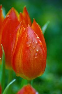 Schöne Rote Tulpe