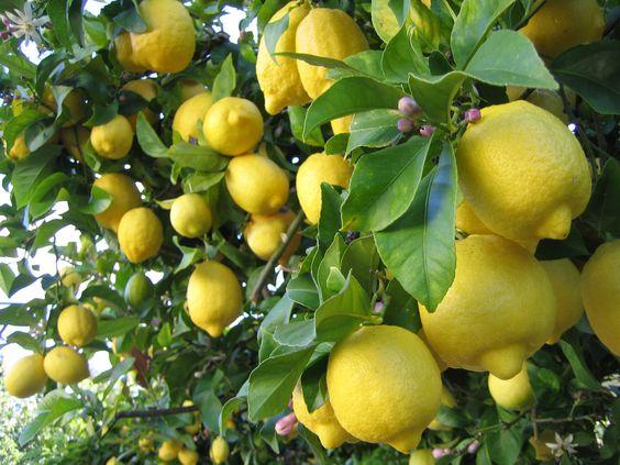 Lemon Mint Elbow Bleach: Sweet Lemontrees, Limes Lemons, Fruit Trees, Lovely Lemons, Citrus Trees, Lucious Lemons