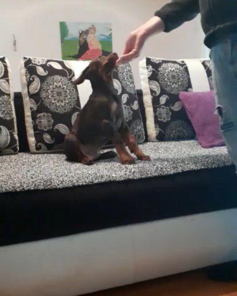 Find Doberman Pinscher Puppies For Sale Dachshund Mini Pinsc