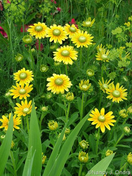 Rudbeckia 'Prairie Sun' with Bupleurum rotundifolium and Anethum graveolens; Nancy J. Ondra at Hayefield