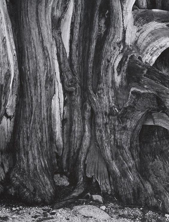 untitled [detail, cypress trunk], ca. 1960s by Ansel Adams 84.92.515