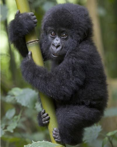 The mountain gorilla inhabits the Virunga Mountains on the border of the Democratic Republic of the Congo, Rwanda and Uganda. I can't wait to see the mountain gorilla on my next trip back to South Africa.