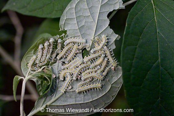 TAW-0079_Mechanitis-caterpillars.tif.jpg (600×400)