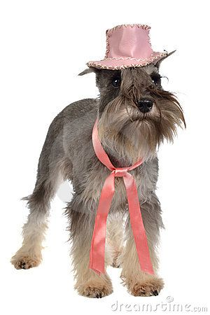 Bearded dog wearing pink hat and tie by Vitaly Titov &  Maria Sidelnikova, via Dreamstime