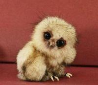 Filhote de coruja: