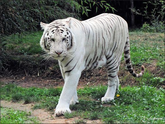 Ades Et Rewa Les Tigres Blancs Du Zoo De La Fleche Animaux