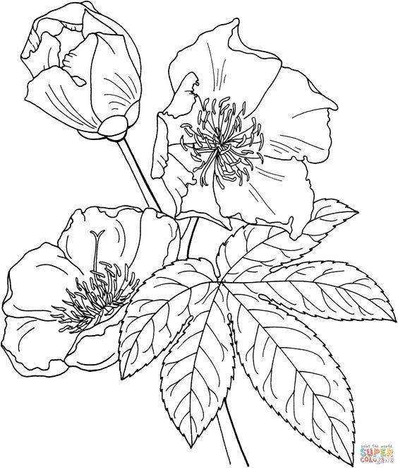 Cochlospermum vitifolium or buttercup tree coloring page for Buttercup flower coloring pages