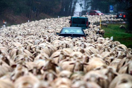 07-12-15 / Des voitures noyés dans un flot de brebis