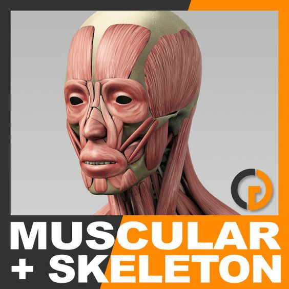 3d anatomically human muscular skeleton - Human Muscular System and Skeleton - Anatomy... by cgshape