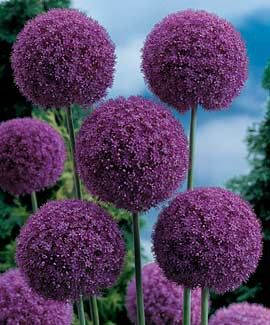 Giant Allium: perennial, full sun, blooms in late spring early summer, grows 5-6 feet tall. (What a beauty in any garden.)