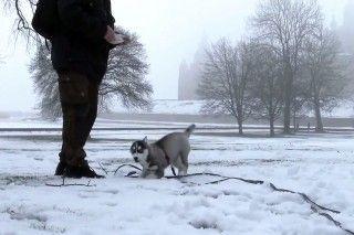 Husky Puppy – Lihkku – Super cute Husky Puppy – The 11 weeks after Birth