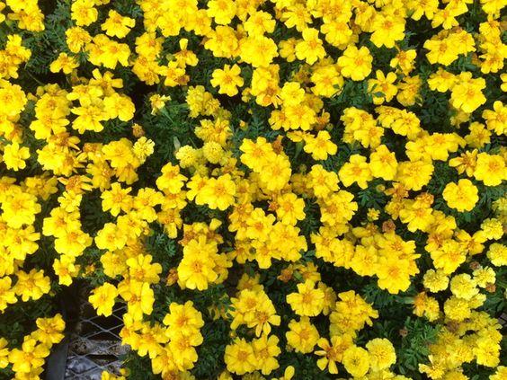 Plantas con flores amarillas: Melampodium