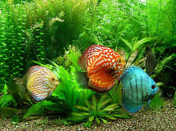 Discus fish, the delicate jewels of the freshwater aquarium world