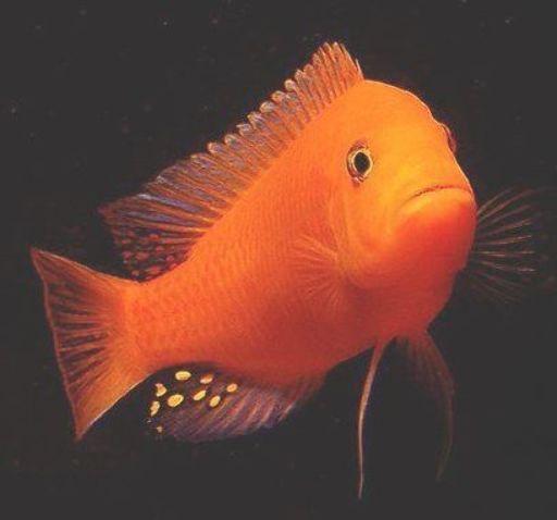 Top Qualitat Cichlids Fisch Cichlids Fisch Zum Verkauf In Ganz Indien Best Cichlid Cichlid C In 2020 Cichlid Fish African Cichlid Aquarium African Cichlids