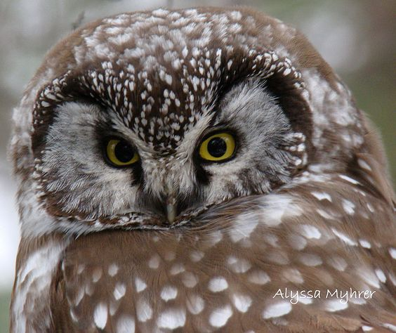 boreal owl by amyhrer, via Flickr